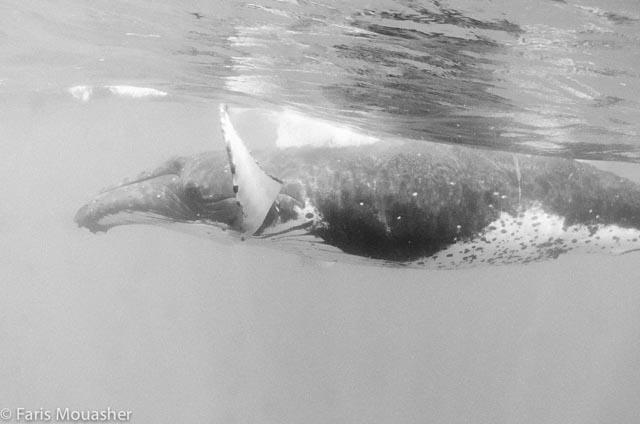 faris-whale-swim3