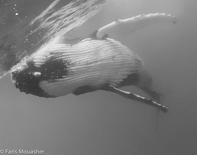 faris-whale-swim4
