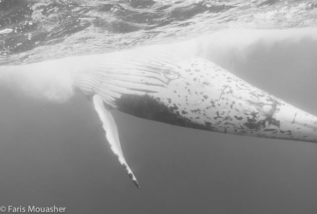 faris-whale-swim5