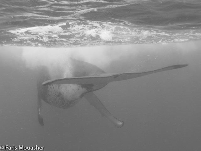 faris-whale-swim7
